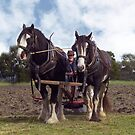 Horses at work in the field by Bev Pascoe