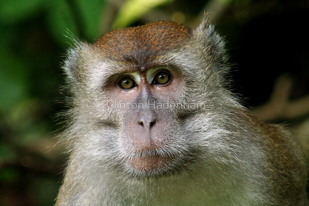 Makak Monkey by Clinton Hadenham