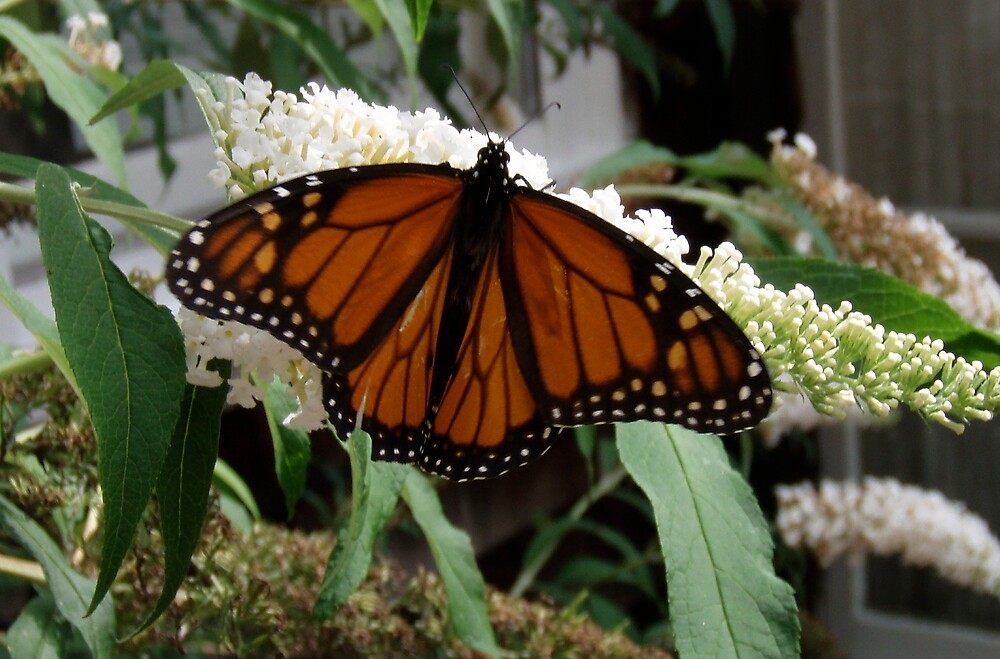 Monarch by DarylE