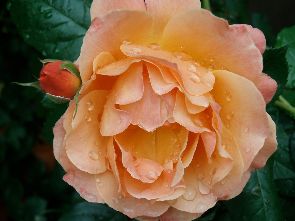 Rose and bud by DarylE