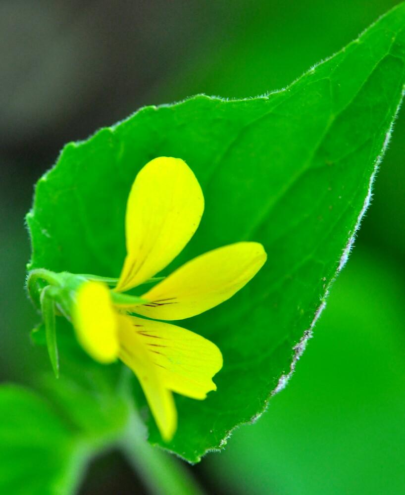 Downy Yellow Violet by Nancy Barrett