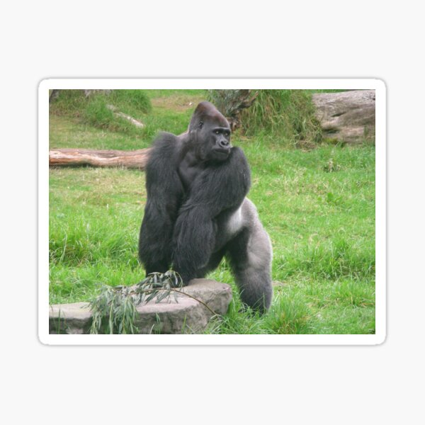 Silverback Gorilla 003 Sticker