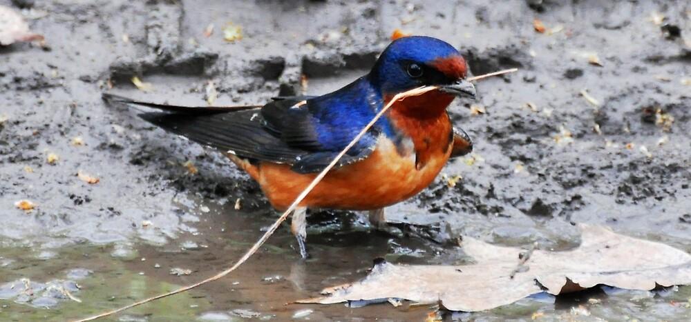 Barn Swallow  by Nancy Barrett