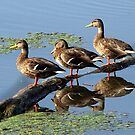 Ducks On A Log by Rusty Katchmer