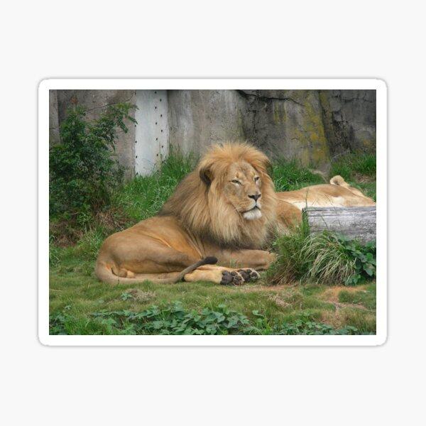 Lions 004 Sticker