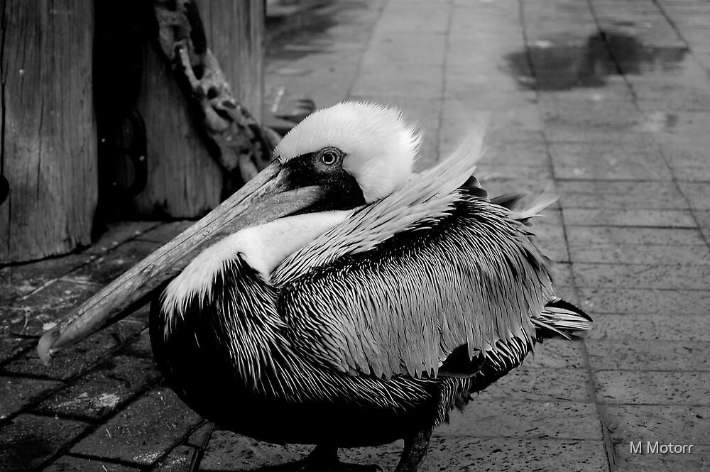 Pelican by M Motorr
