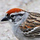Chipping Sparrow  by Nancy Barrett