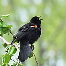 Singing Redwing by Nancy Barrett