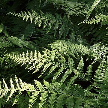Forest Ferns by hkatchmer