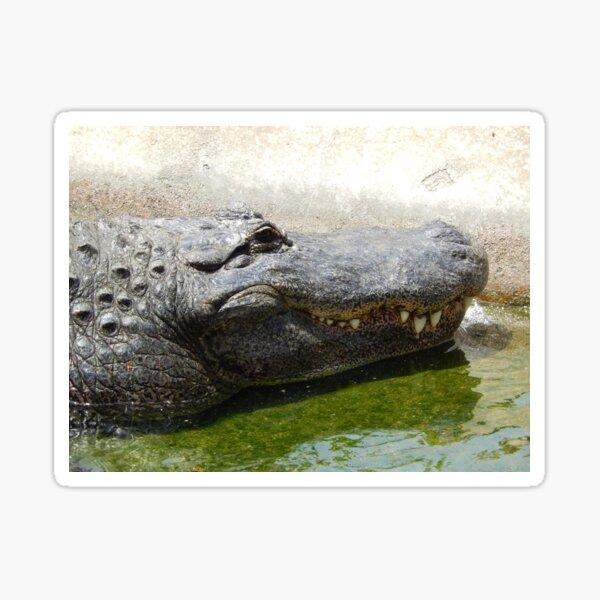 Alligator 002 Sticker