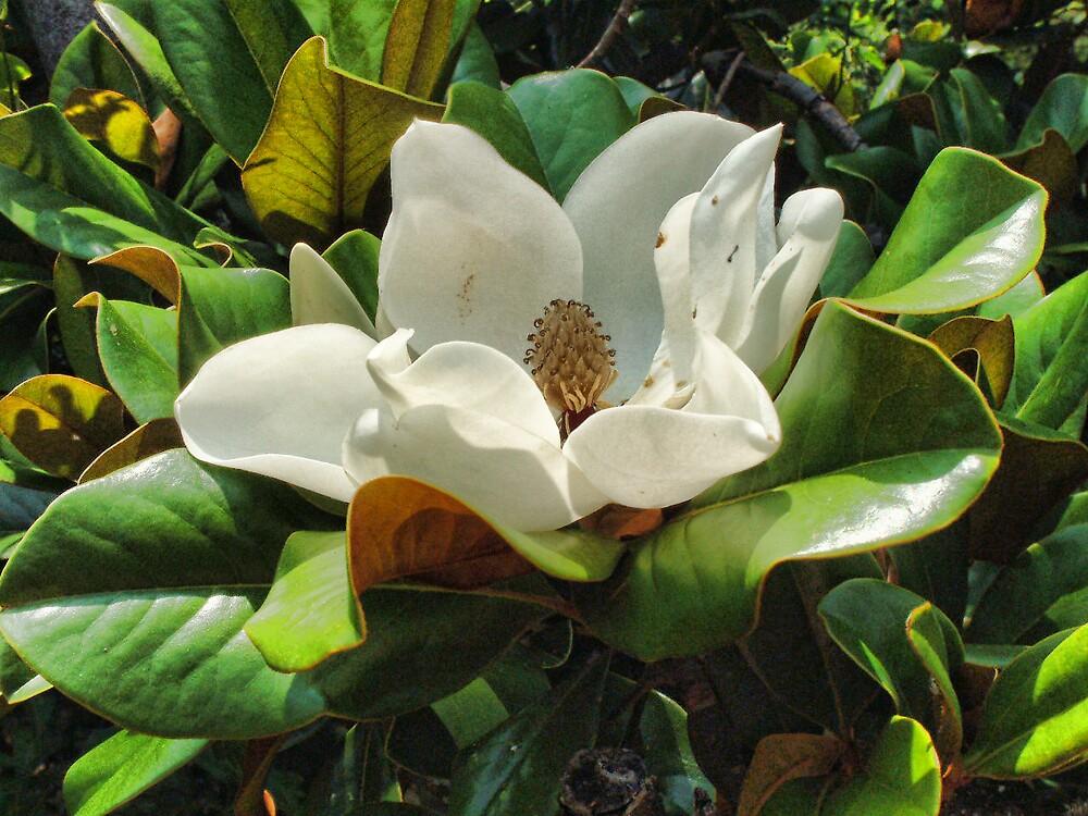 Magnolia by GulfCoastArtist