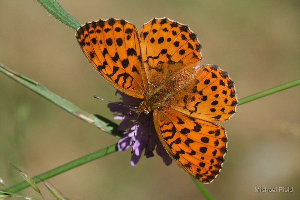 Marbled Fritillary Butterfly on Scabious Flowers by Michael Field