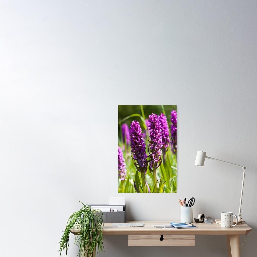 Early Marsh Orchid (Dactylorhiza incarnata) Poster