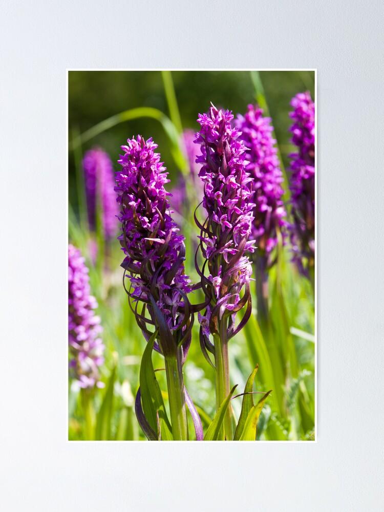 Alternate view of Early Marsh Orchid (Dactylorhiza incarnata) Poster
