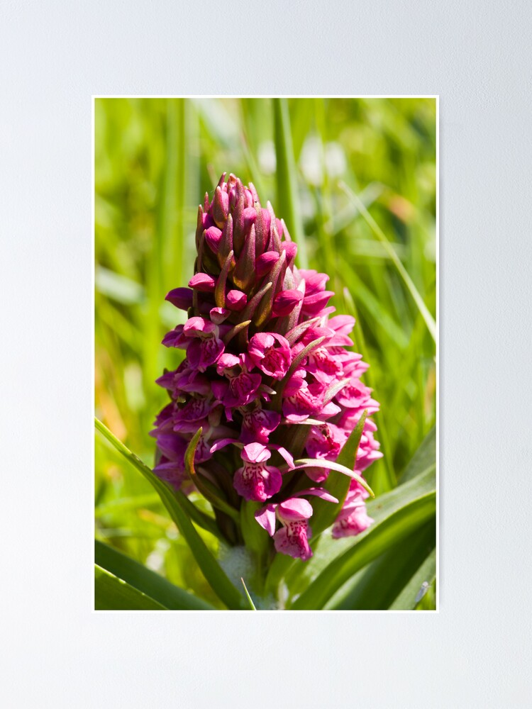 Alternate view of Southern Marsh Orchid (Dactylorhiza praetermissa) Poster