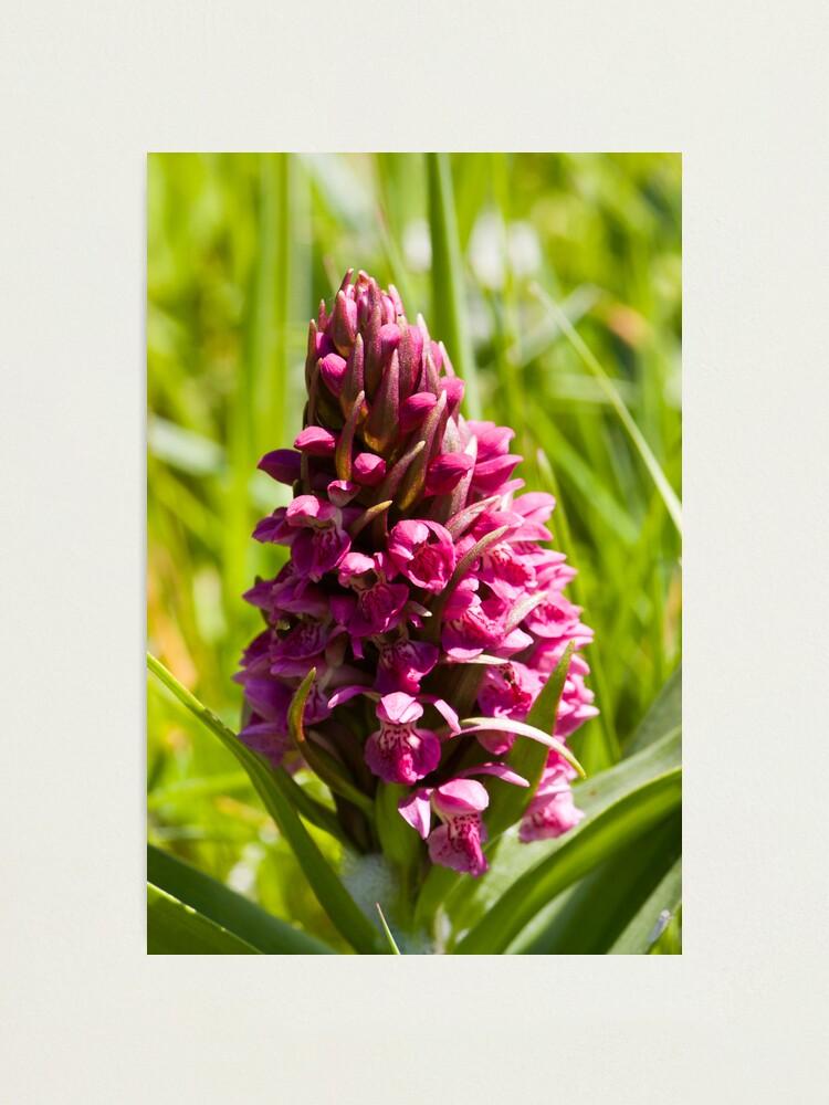 Alternate view of Southern Marsh Orchid (Dactylorhiza praetermissa) Photographic Print