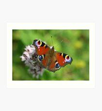 Peacock Butterfly on Marjoram Flowers Art Print