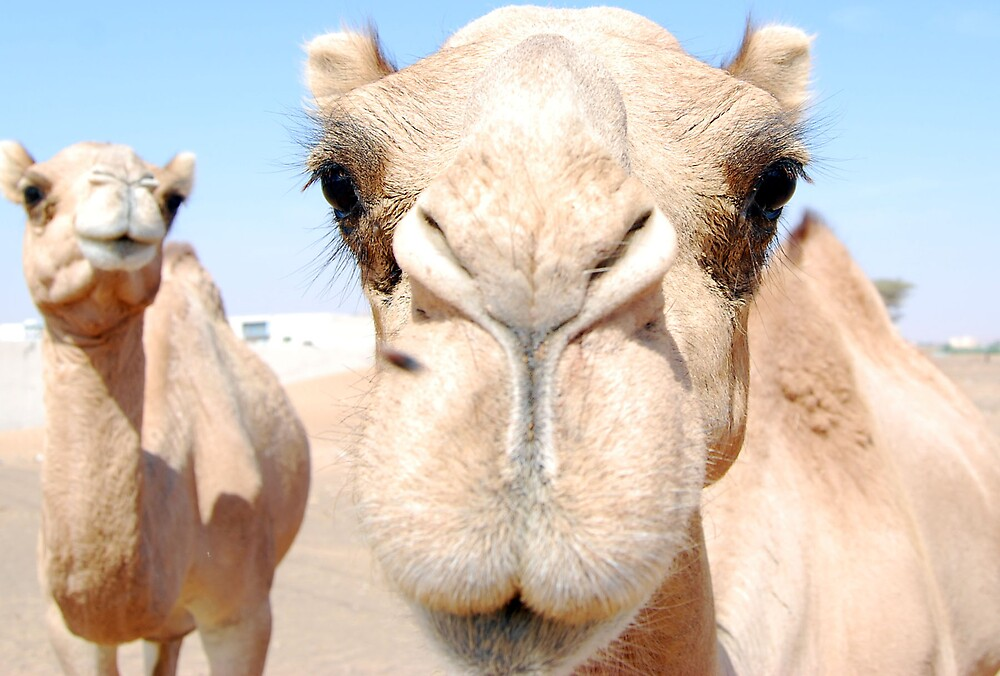 Friendly Camels by Ian Marshall