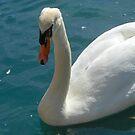 Solitary Swan by SunriseRose