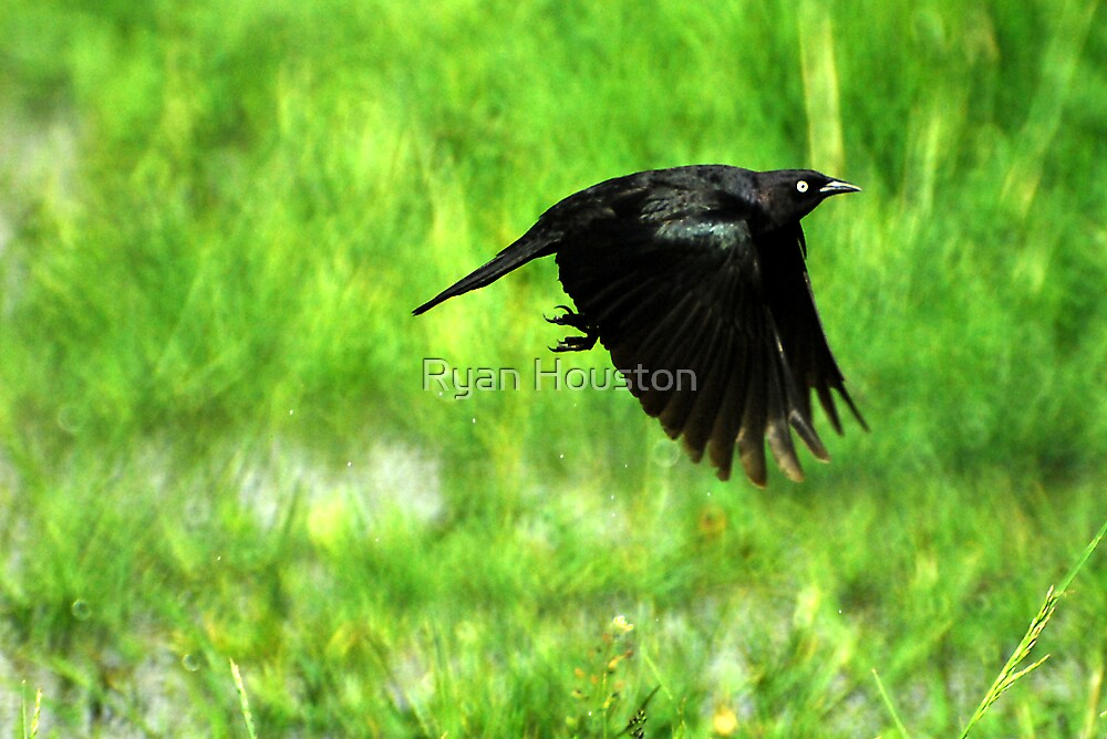 Brewer's Blackbird - Take Off by Ryan Houston