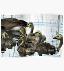 Canadian Geese - Goslings Poster