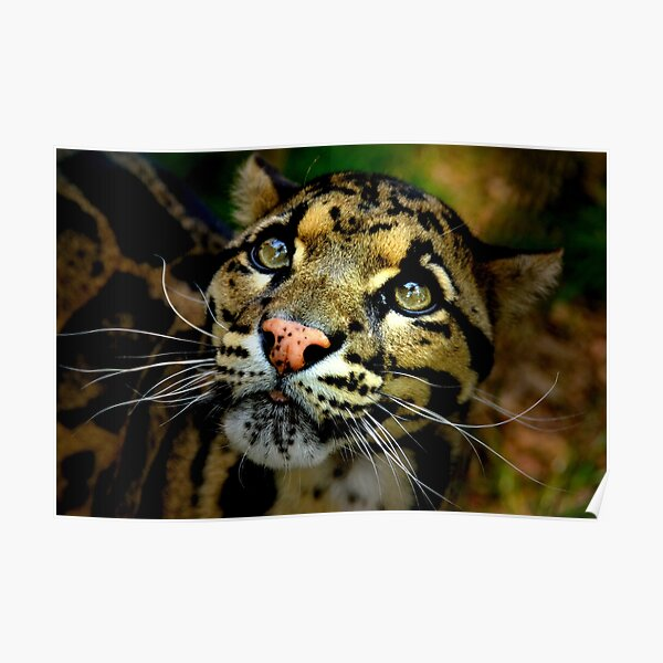 ~Clouded Leopard~ Poster