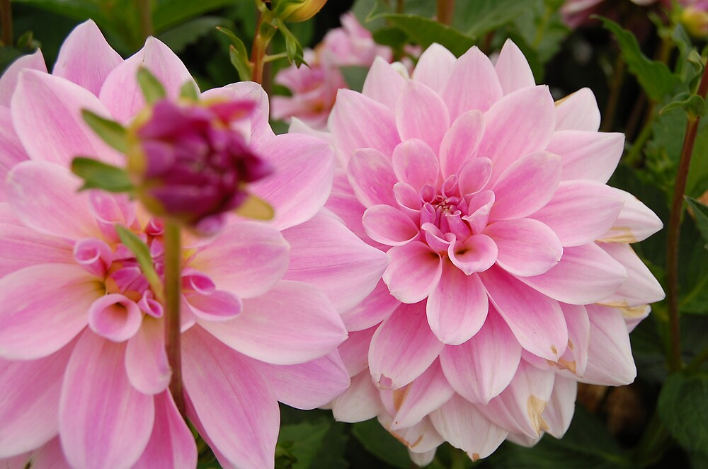 Double Pinks by kayf