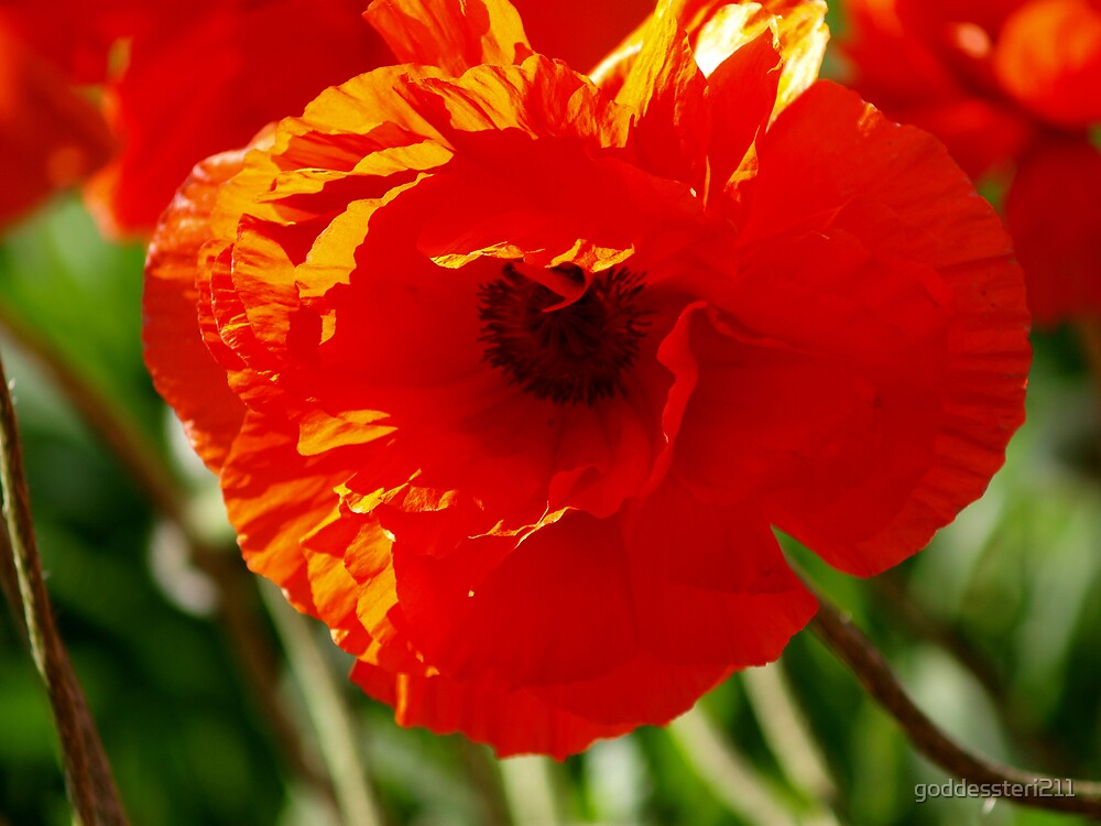 From the field of poppies by goddessteri211