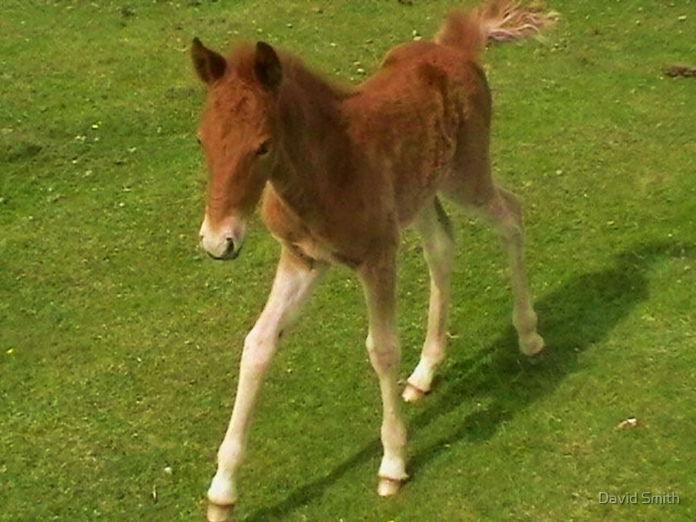 New Forest Foal by David Smith