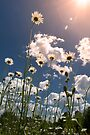 Daisy Field by believer9