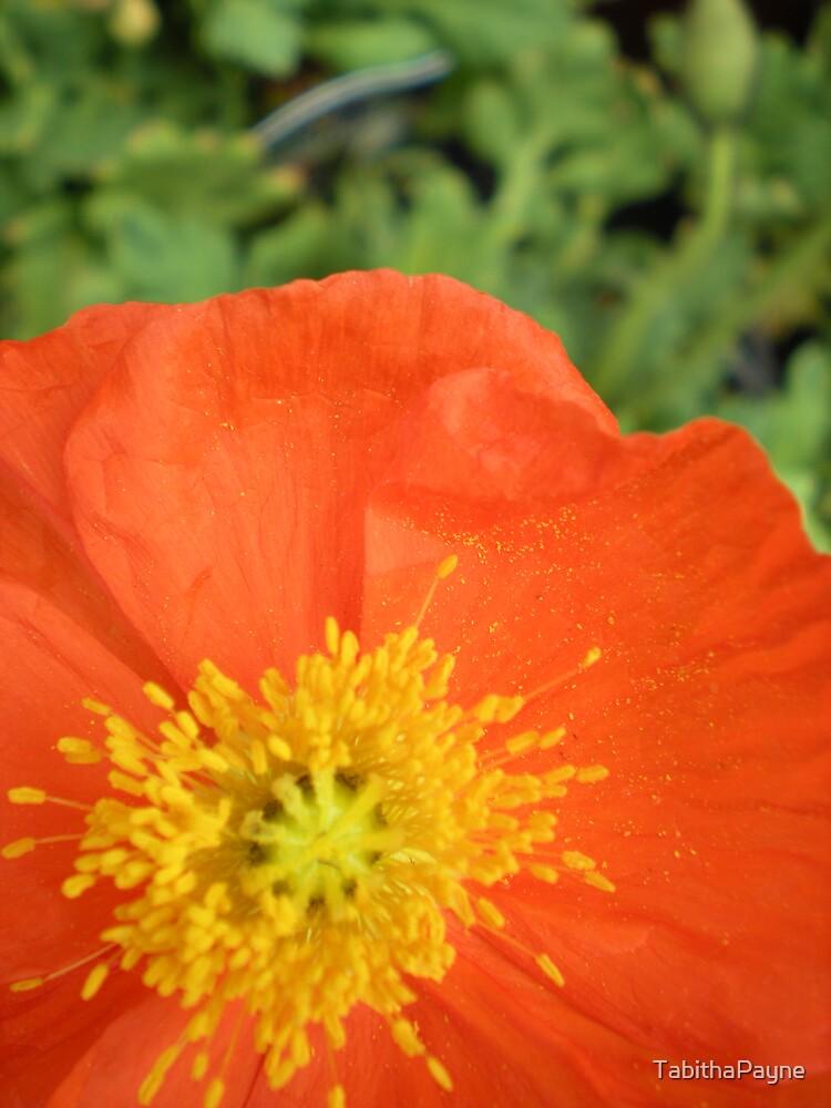 Orange Poppy Macro by TabithaPayne
