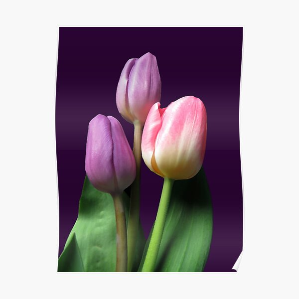 Three colorful spring beauties Poster