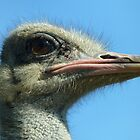 Eye of the Ostrich by Viv Thompson