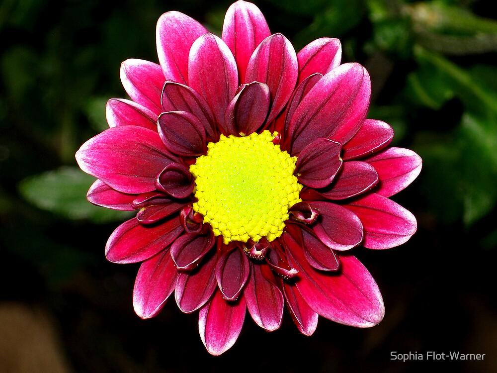 Daisy Burgundy by Sophia Flot-Warner
