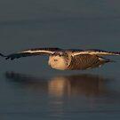 Snowy Owl on Ice in Canada by Jim Cumming