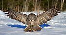 Great Grey Owl by Jim Cumming