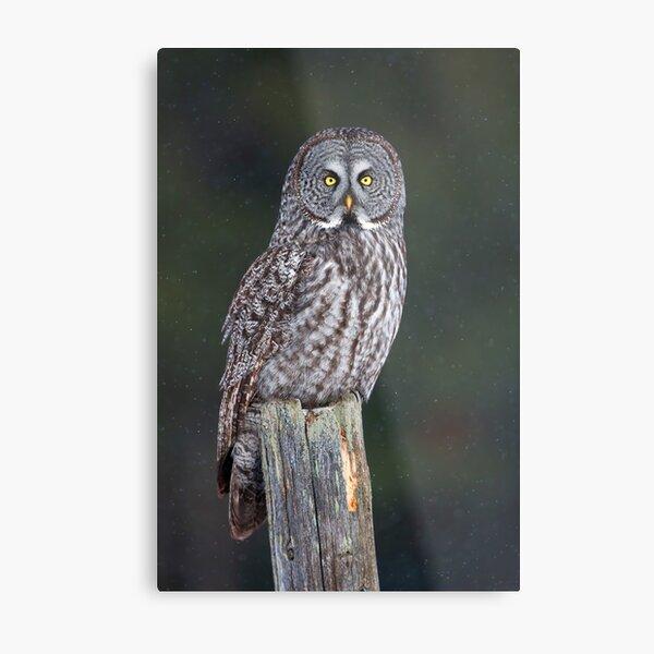 Great Grey Owl on Post Metal Print