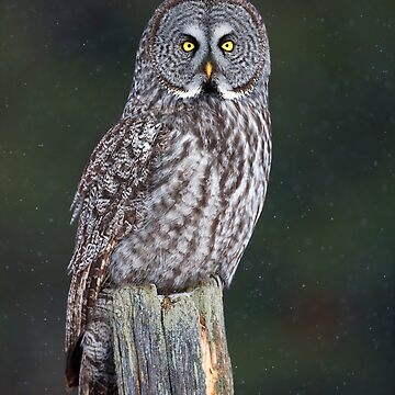 Great Grey Owl on Post by darby8