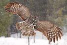 Awesome! - Great Grey Owl by Jim Cumming