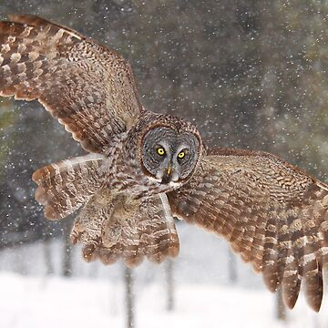 Awesome! - Great Grey Owl by darby8
