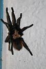Tarantula by Cathy Jones
