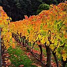 Autumn Vineyard by Peter Daalder
