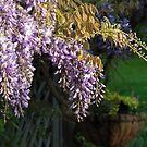 Whispy Wisteria by Tracy Riddell