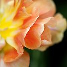 """Double Late Tulip """"Charming Lady"""" by Alison Cornford-Matheson"""