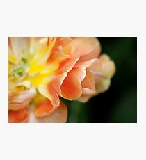 "Double Late Tulip ""Charming Lady"" Photographic Print"