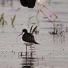 Photobombed by a Black Necked Stilt by Alyce Taylor