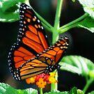 Monarch Butterfly by L.D. Franklin