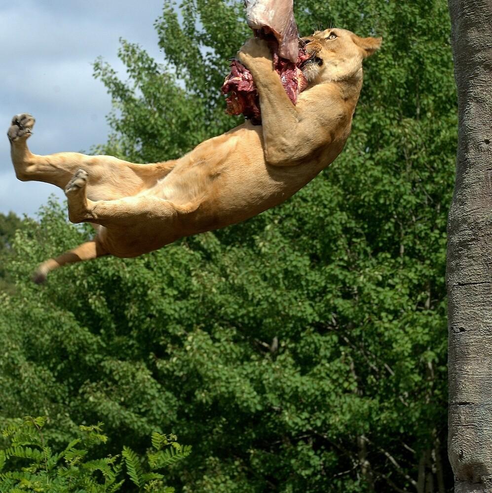 Big Cat, big jump by Alan Mattison