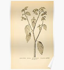 Harper's Guide to Wild Flowers 1912 Creevey, Caroline and Stickney, Alathea 058 Jewel Weed or Balsam or Touch Me Not Poster