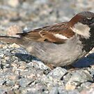 What a beautiful sparrow by memaggie